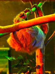 Memphis Zoo 08-31-2016 - Two-toed Sloth 1