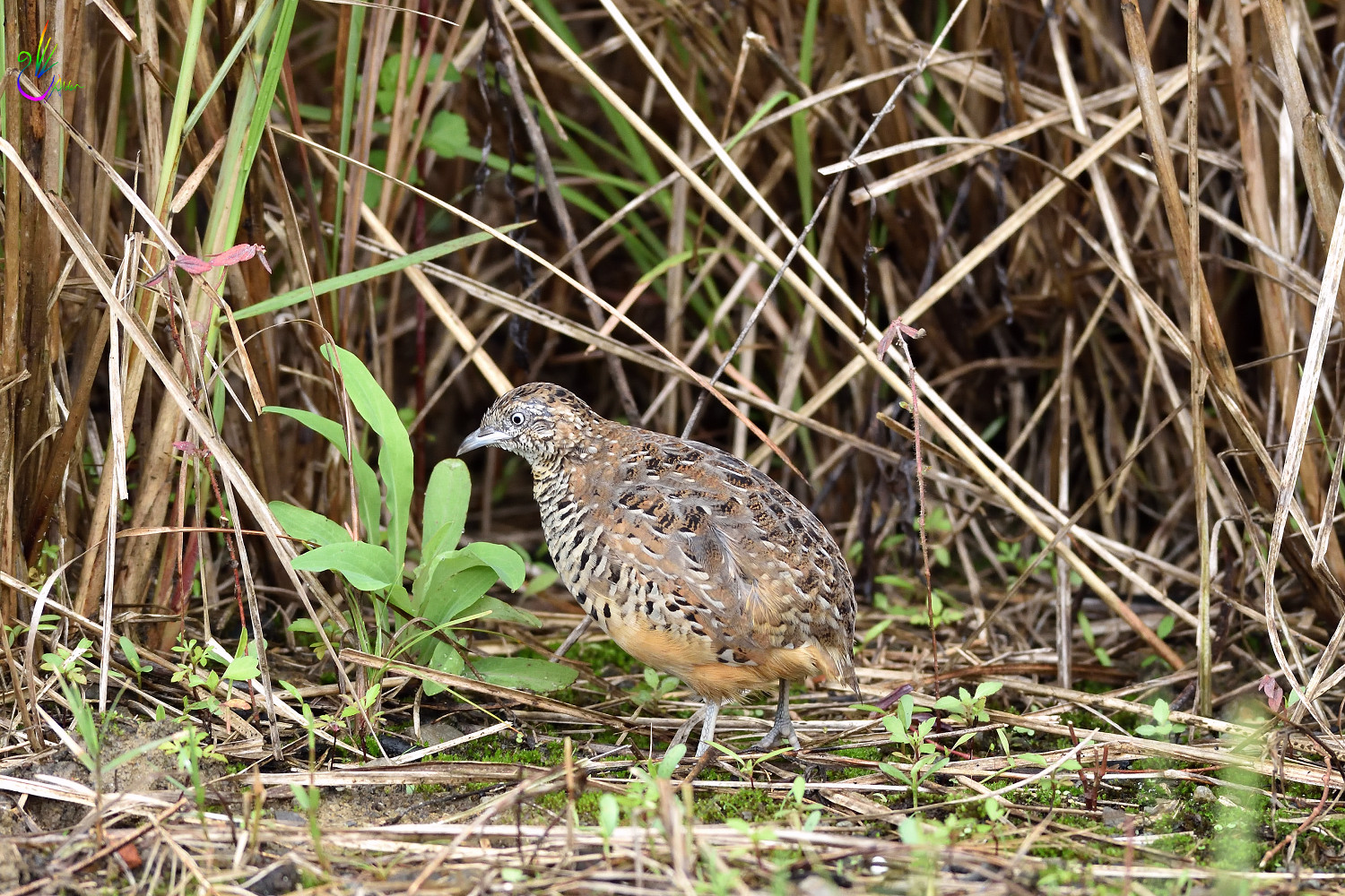 Barred_Buttonquail_7150