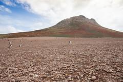 Penguins Across a Barren Expanse