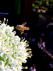 Honey Bee Foraging On Allium Flowers - Edible Passover White Onions <<>> iPhoneography <<>> IMG_1019 - Version 4