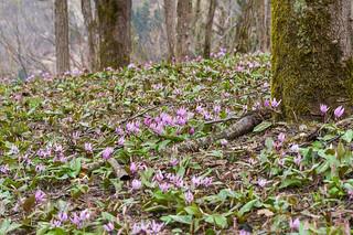 2合目付近のカタクリ群生地・・・咲き始めてます