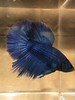 Young royal blue male - $20