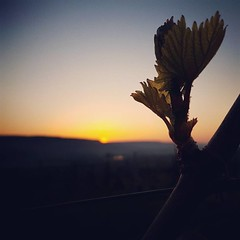 Le #rayonnement #nocture était important. Le #froid était plus ferme ce #matin, mais avec un peu moins d'#humidité, et toujours aussi peu de #vent. #Criteres pour la #plante. #Printemps #20avril2017 #Champagne #Tarlant #Vigneron #depuis1687