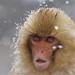 Japanese Macaque (Dani Free)