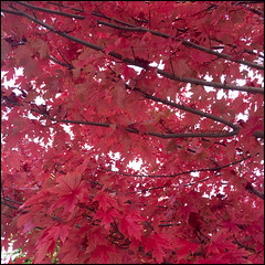 Hahndorf Red Foliage