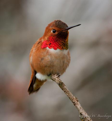 trochilidae avianexcellence britishcolimbiarufuoushummingbirdselasphorusrufusbirdsduncanpasserineruhuspring