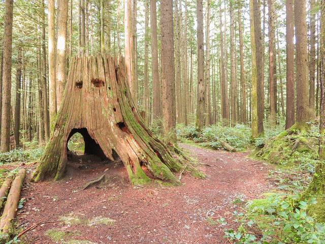 Buntzen Lake Hollow Tree