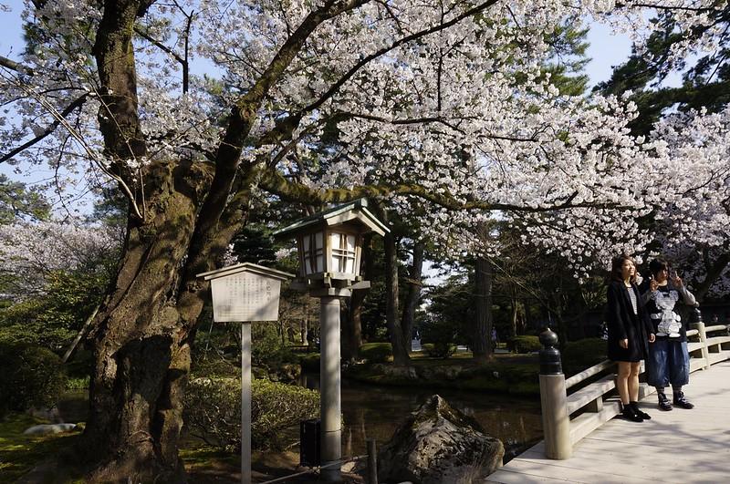 金沢桜満開! その2 兼六園の桜