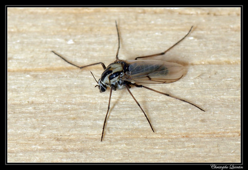 Chironomidae femelle