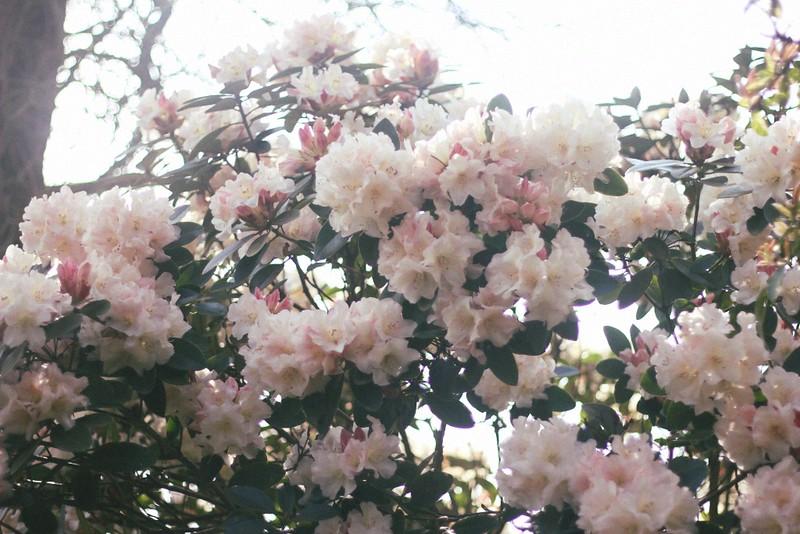 azalea bush altamont garden