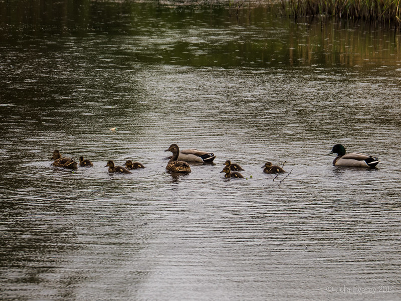 Nice weather for ducks and ducklings