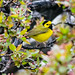 gfabbri has added a photo to the pool:The first Hooded Warbler at the Boston Public Garden in 10 years!ebird.org/ebird/view/checklist?subID=S18040782