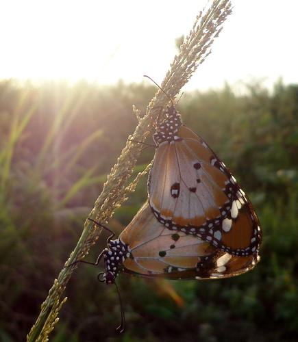 butterfly lepidoptera nigeria plaintiger danauschrysippus
