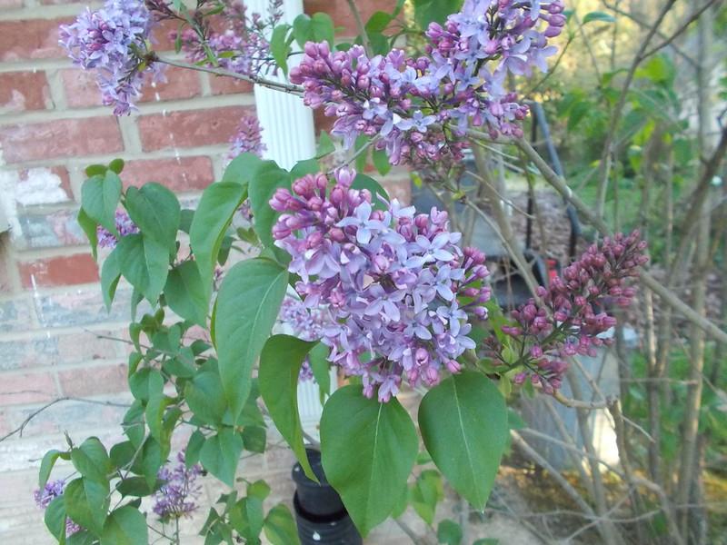 Lilacs = Spring. Adios Winter.