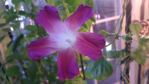 Q1181 Japanese Asagao Ipomoea purpurea