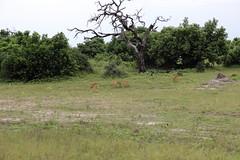Chobe Park Game Drive