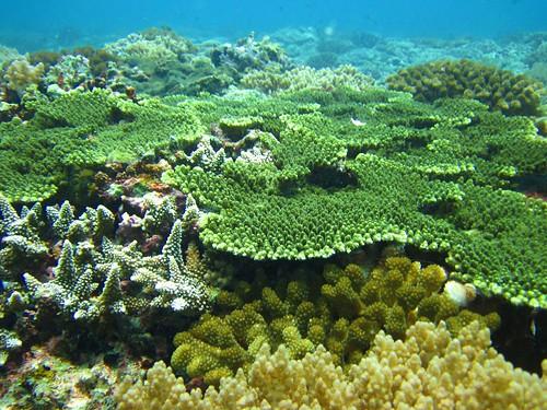 資料畫面。圖為東沙環礁外圍的健全珊瑚群聚,海洋國家公園管理處提供。