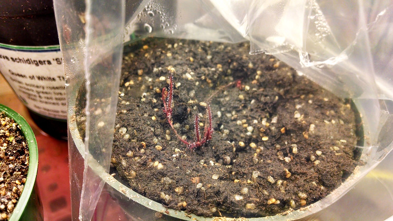 Drosera filiformia plantlets.