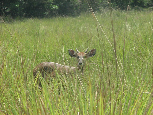 Sitatunga along savanna edge