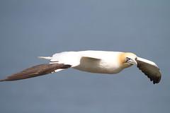 Sea Birds (not Gulls)