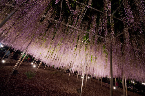 Ashikaga Wisteria festival 2014 2014 02