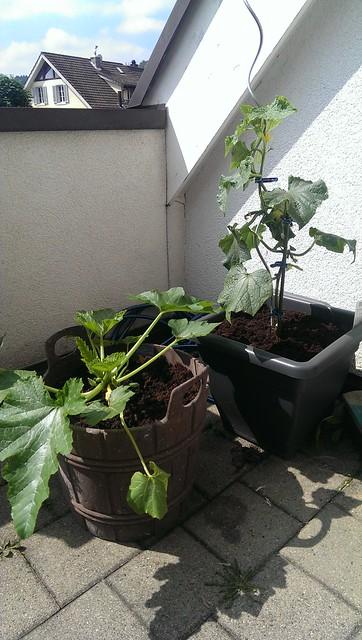 dahlien einpflanzen dahlien einpflanzen richtig gemacht. Black Bedroom Furniture Sets. Home Design Ideas