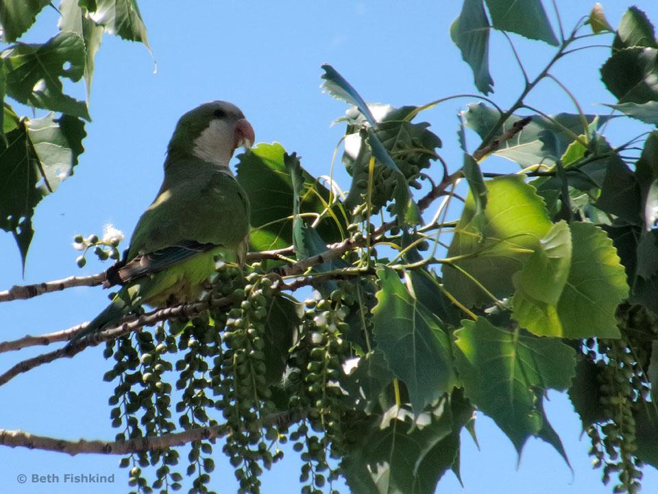 Monk Parakeet (Quaker Parrot)