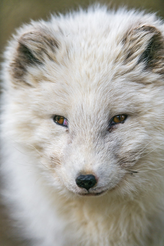 Cute polar fox portrait