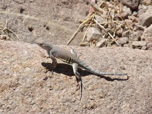 Greater Earless Lizard, Organ Mts.