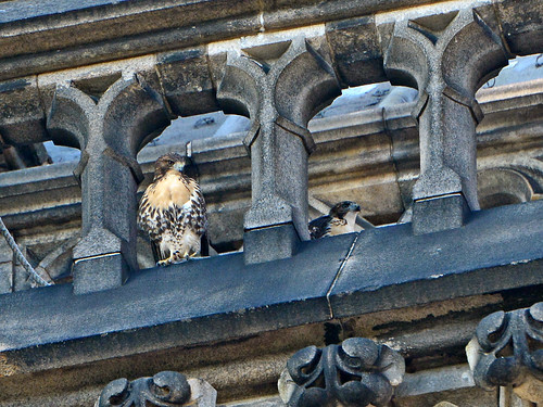 Cathedral Hawk Fledglings - 2916