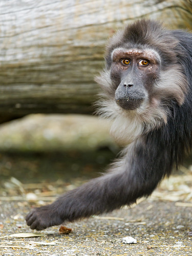 Tonkean macaque looking guilty