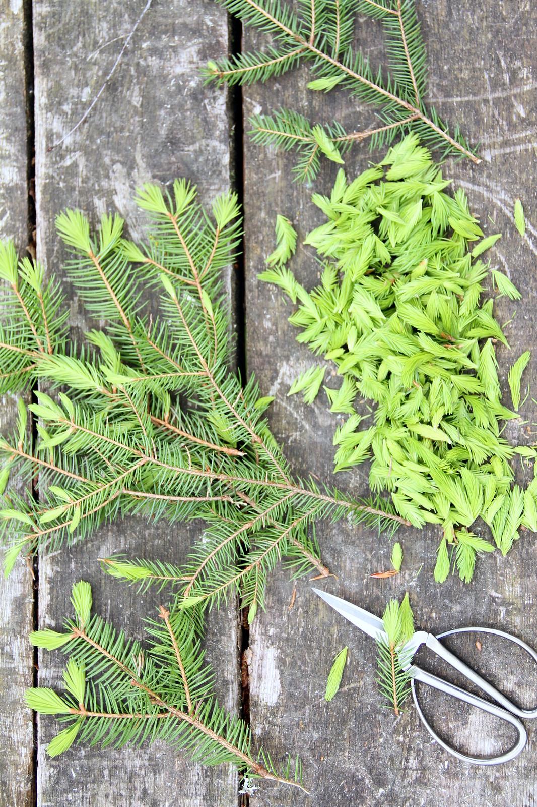 conifers8