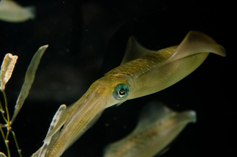 アオリイカ Bigfin Reef Squid