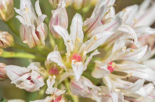 <p><i>Allium textile</i>, Amaryllidaceae<br /> Ferry Point Landing, Alberta, Canada<br /> Nikon D5100, 105 mm f/2.8<br /> June 22, 2014</p>