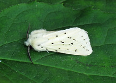 2060 White Ermine - Spilosoma lubricipeda