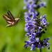 Hummingbird Moth by jamey15