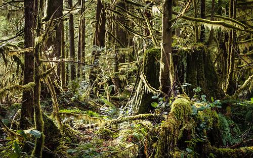 canada tree nature moss rainforest britishcolumbia vancouverisland stump cowichan oldgrowth temperaterainforest transcanadatrail