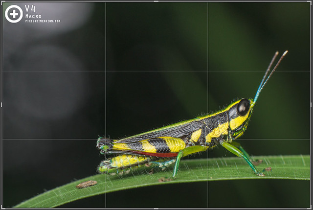 Rule of Thirds- Grasshopper