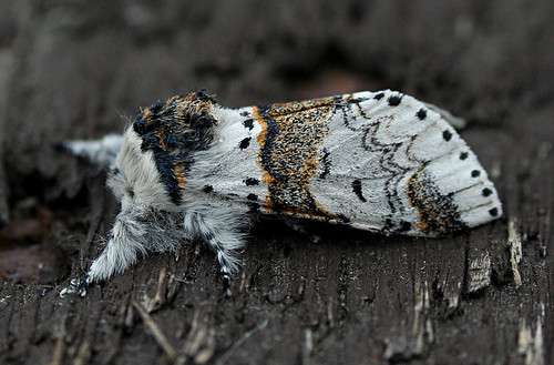 Sallow Kitten Furcula furcula Tophill Low NR, East Yorkshire June 2014
