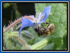 Bee is for Borage