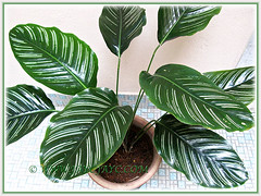 Showy foliage of Calathea ornata 'Sanderiana' (Calathea Broad Leaf, Striped Calathea, Pin-stripe Plant), 28 June 2014