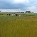 Champ de blés en agriculture biologique à Fromenteau (Côte d'Or)