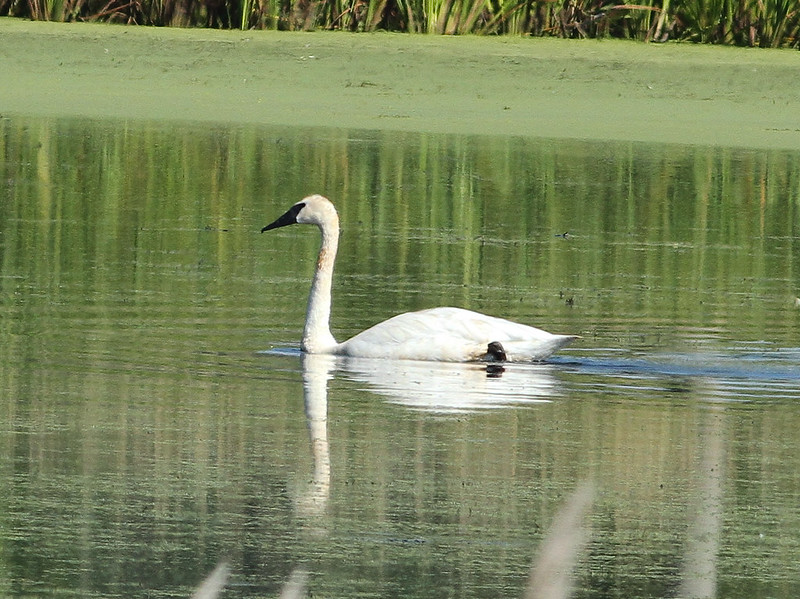 Trumpeter Swan Grand River (1 of 2)