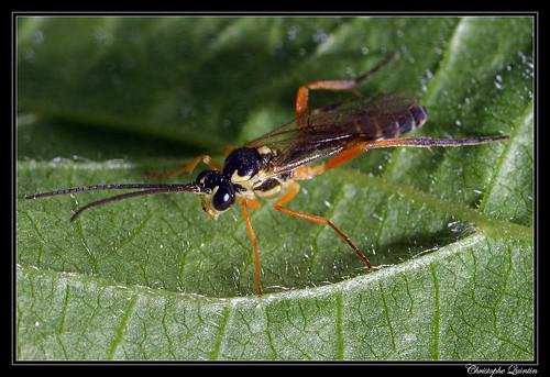Syrphoctonus tarsatorius mâle