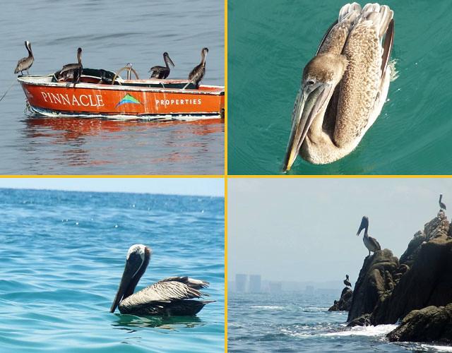 puerto-vallarta-birds