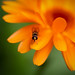 Hoverfly (Platycheirus sp. ?)