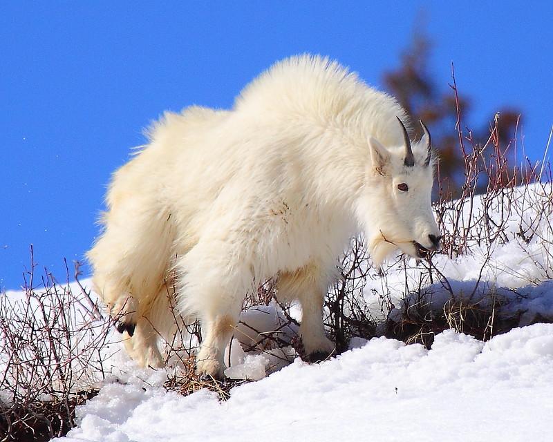 IMG_0369 Mountain Goat, Targhee National Forest
