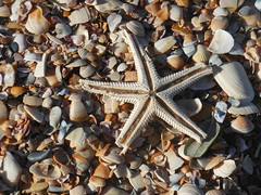 animal(1.0), invertebrate(1.0), marine invertebrates(1.0), seashell(1.0), starfish(1.0),