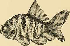 """Image from page 63 of """"Goldfish breeds and other aquarium fishes, their care and propagation : a guide to freshwater and marine aquaria, their fauna, flora and management. With 280 explanatory illustrations, printed with the text"""" (1908)"""