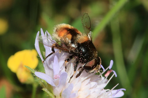 Eristalis intracarius 31702